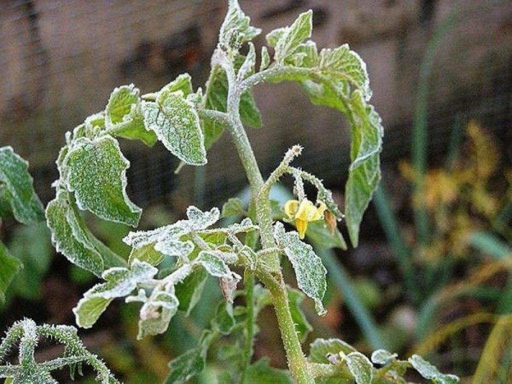 При какой температуре погибает рассада помидор?