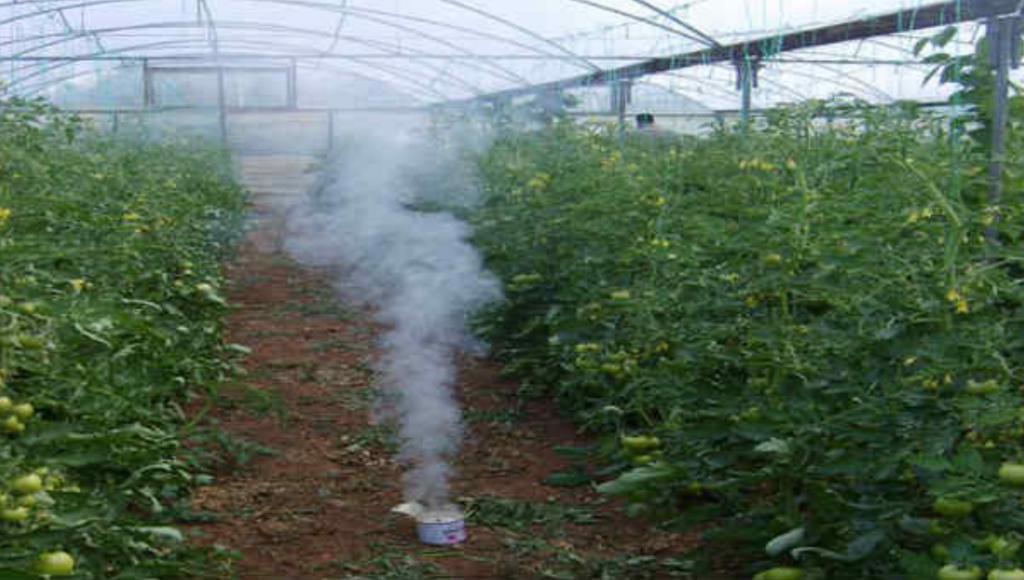 Белокрылка в теплице на помидорах. Как избавиться?