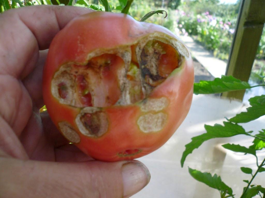 Проволочник в теплице с помидорами. Как избавиться?