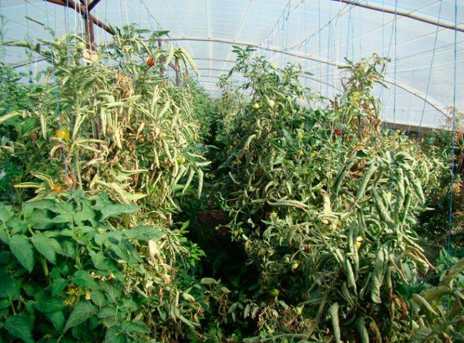 Столбур томатов